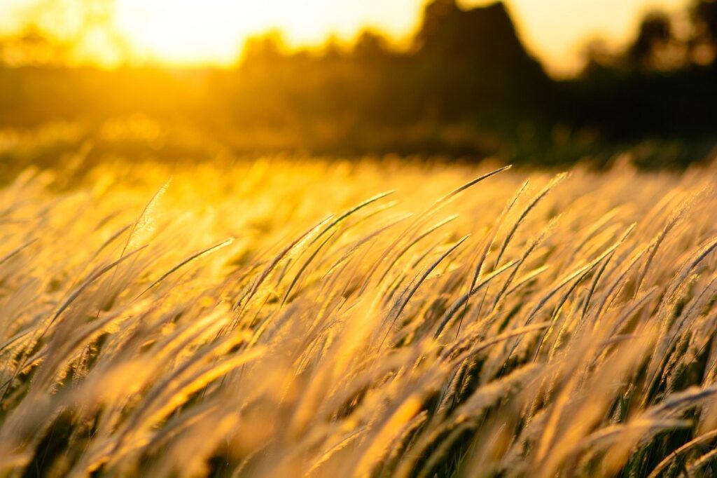 nature, grass, sunset